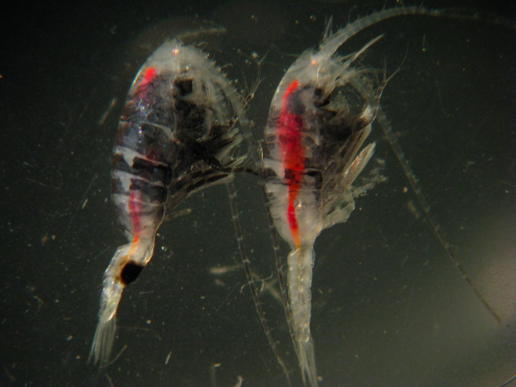 October 16: Male and Female mesopelagic copepods caught from the RV melville