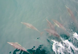 CA common dolphins